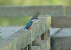 欄干の親鳥
