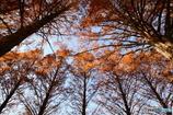 メタセコイア並木を見上げてみた