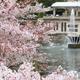 桜の花と噴水