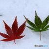 雪上の紅色&緑色もみじ