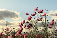 青空の下で咲く秋桜