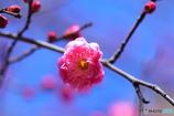 梅のお花咲いたよ