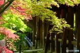緑葉と紅葉と通天橋