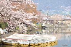 京都とある池の桜