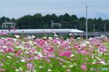 コスモス畑から眺める新幹線 #2