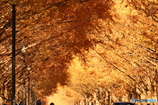 生い茂るメタセコイア