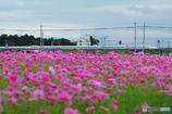 コスモス畑から眺める新幹線 #1