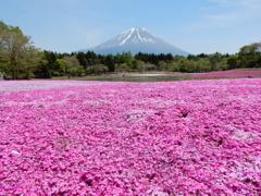富士芝桜まつり2015