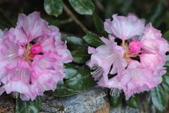 高嶺の花。