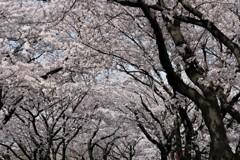 墨俣、桜トンネル。