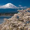 豆桜と富士#2