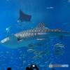 美ら海水族館 ジンベイサメ