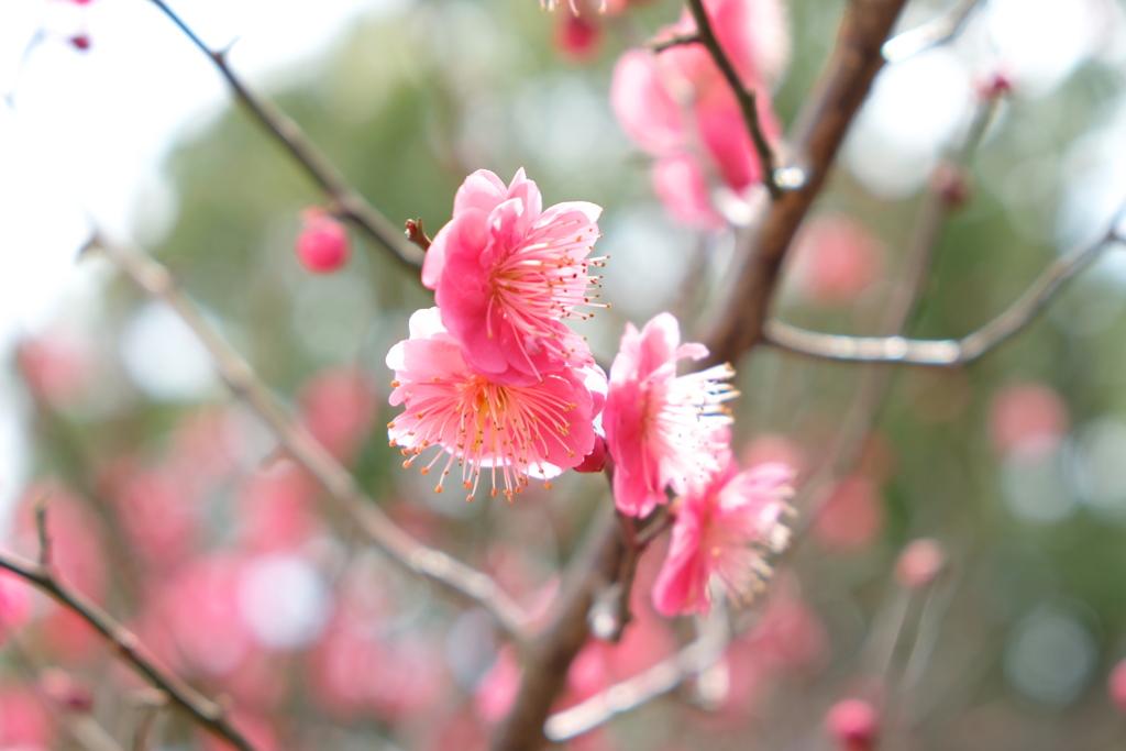 紅梅~春の気配