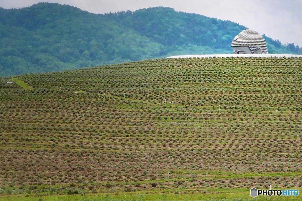 ラベンダーの丘と頭大仏殿