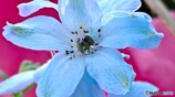 アルミニウムみたいな名前の花