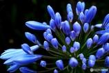咲きかけのアガパンサス