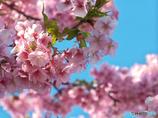 河津桜-三浦海岸3