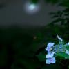 月下の紫陽花