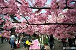 河津桜-三浦海岸1