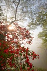霧中のヤマツツジ