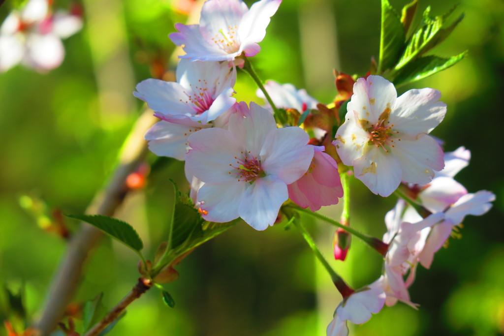 本栖湖リゾートの桜