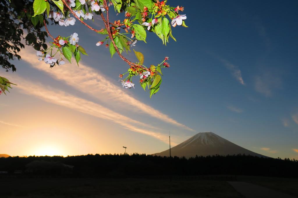 朝霧高原日の出と桜