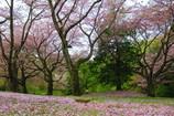 岩本山公園 桜