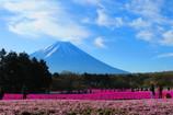 富士山と芝桜-4