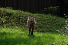 獲物を咥えた狐