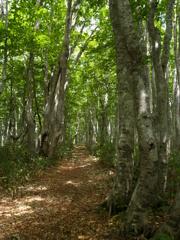 ぶな林の日差し