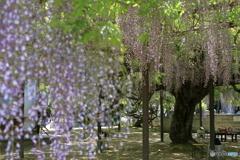 住雲寺の六尺藤