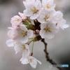 揺るる桜に
