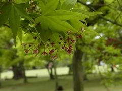 新緑 もみじの花