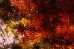 紅葉の季節ですな