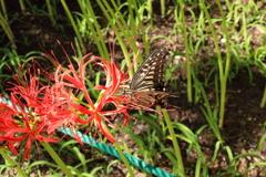 蝶と曼珠沙華