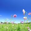 秋桜と青空