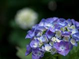 紫陽花を撮る日々