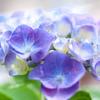 紫陽花と向き合う
