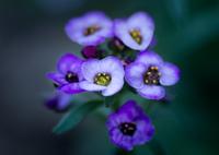 OLYMPUS E-M10で撮影した(紫の花束)の写真(画像)