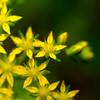 セダムの花。