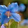 ヒマラヤの青いケシ 1506-2-1338