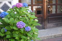 紫陽花_18 城下町に咲く