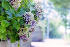 長月の紫陽花_フィルムにて