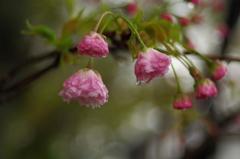 八重桜_3