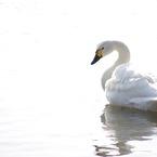 11_白鳥