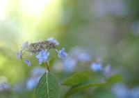 OLYMPUS E-M5で撮影した(紫陽花_3)の写真(画像)