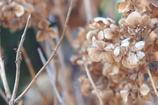 冬の紫陽花_2
