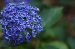 紫陽花_16 ポップコーン