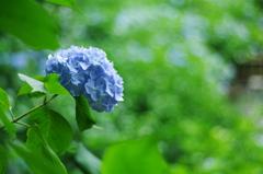 紫陽花_21