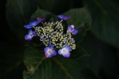 葉月の紫陽花